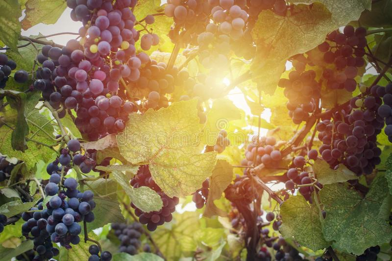 Vineyard i solljus royaltyfria foton