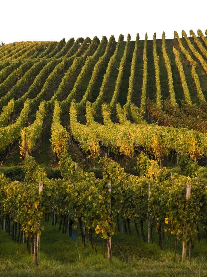Free Vineyard In Franconia Royalty Free Stock Image - 3374676