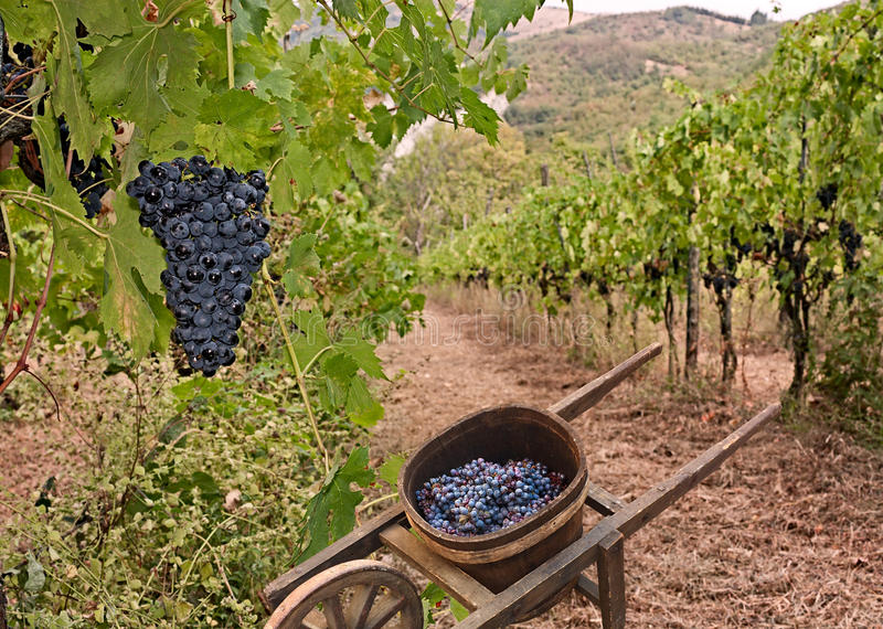Vineyard on the Italian hills royalty free stock photos