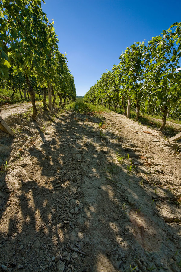 Vineyard in Italy stock images