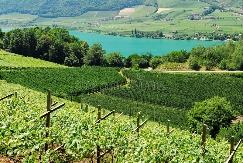 Vineyard in Italy stock photos