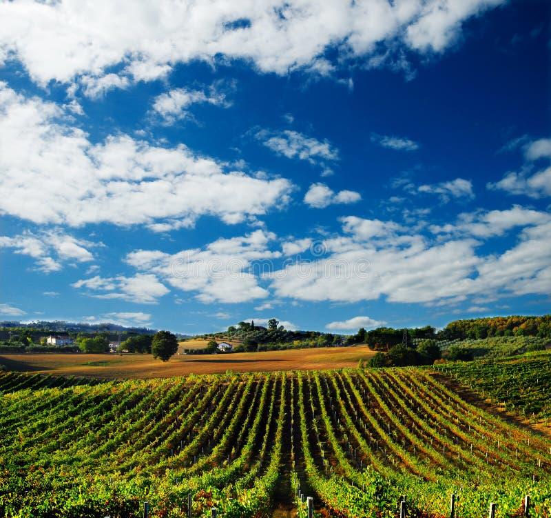 Vineyard in Italy royalty free stock photo