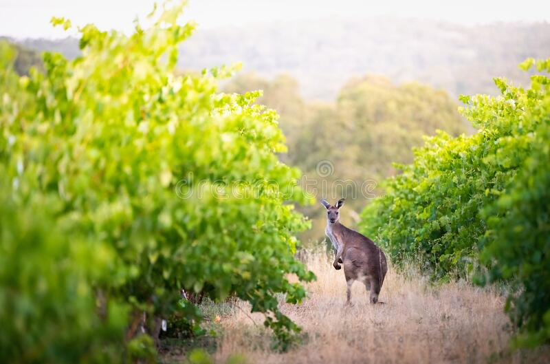 Vineyard Kangaroo royalty free stock photos