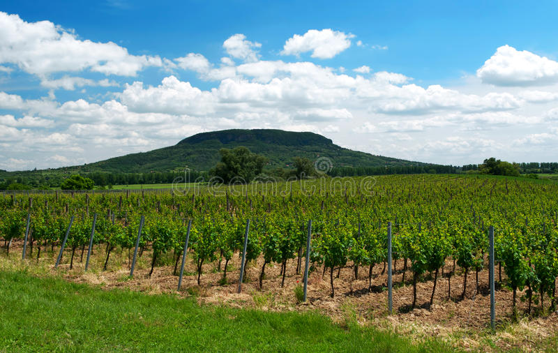 Vineyard at Lake Balaton, Hungary stock images