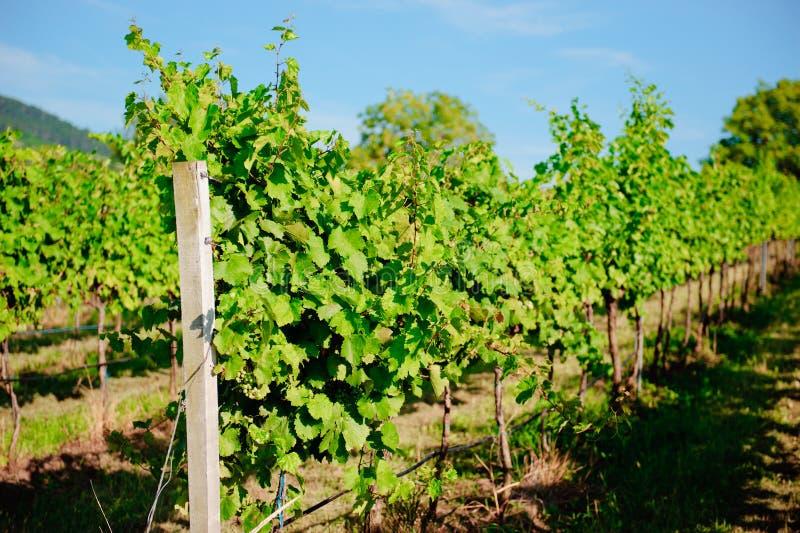 Download Vineyard landscape stock image. Image of harvest, cultivated - 26182635