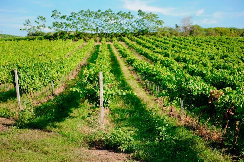 Download Vineyard landscape stock image. Image of harvest, country - 26182675
