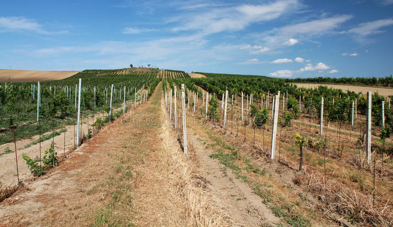 Download Vineyard landscape stock image. Image of farm, field - 26316765
