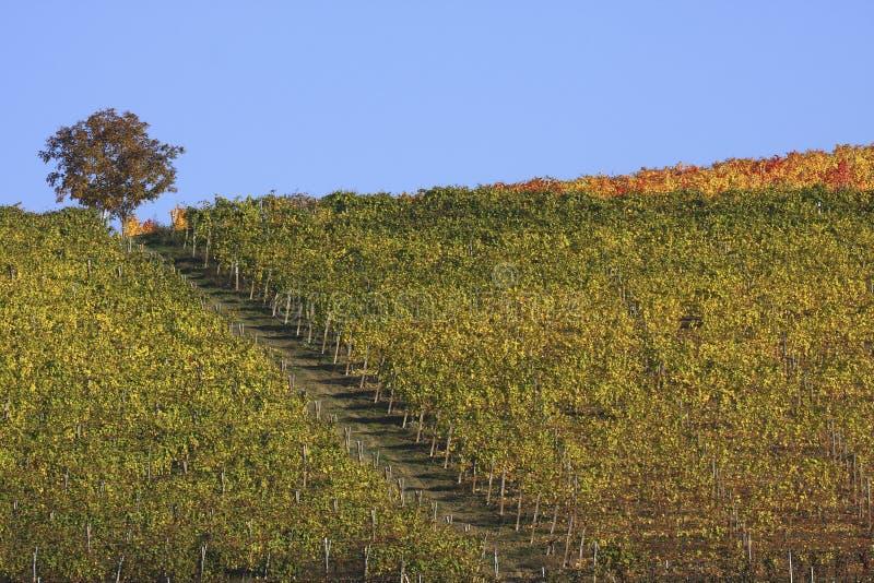 Vineyard landscape in autumn royalty free stock image