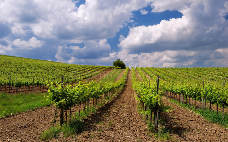 Vineyard landscape with beautiful clouds and blue sky in summer royalty free stock photography
