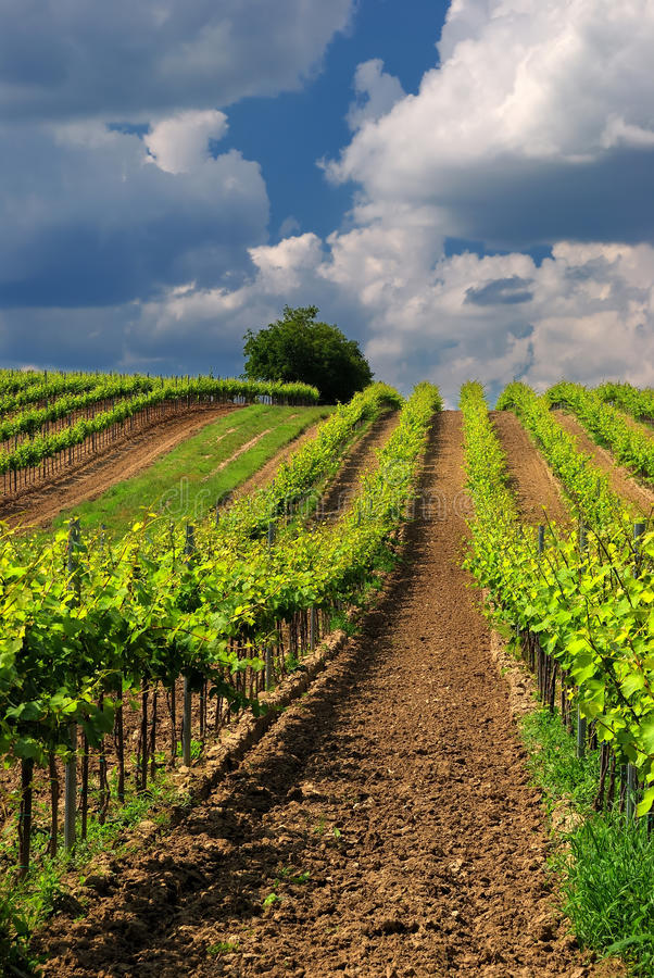 Vineyard landscape with beautiful clouds and blue sky in summer royalty free stock photo