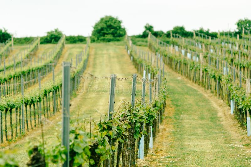 Vineyard landscape. Farming, travel and gardening concept royalty free stock photos