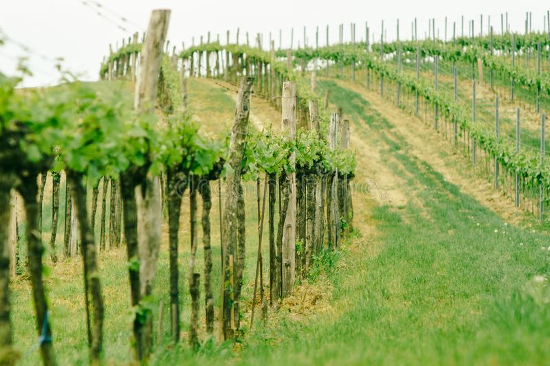 Vineyard landscape. Farming, travel and gardening concept royalty free stock image