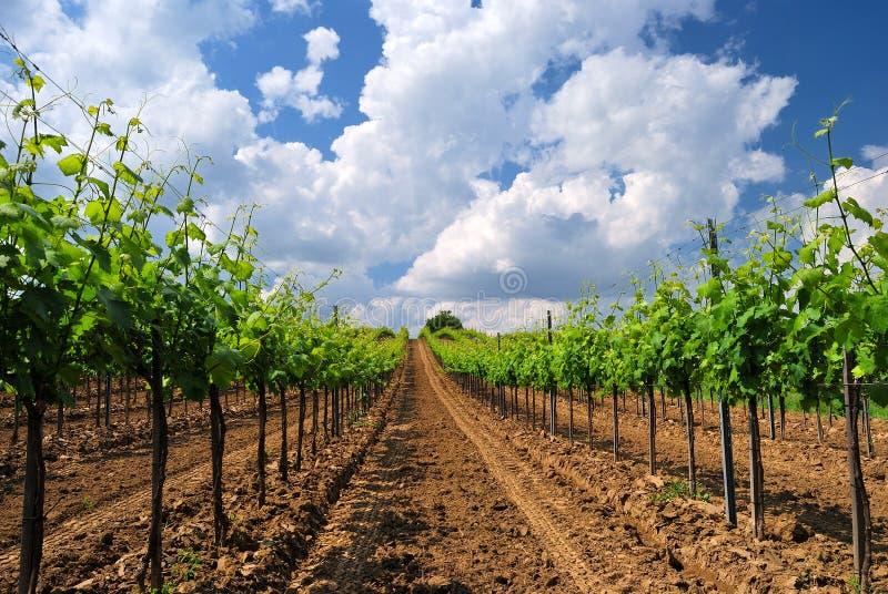 Vineyard landscape in Hungary stock image