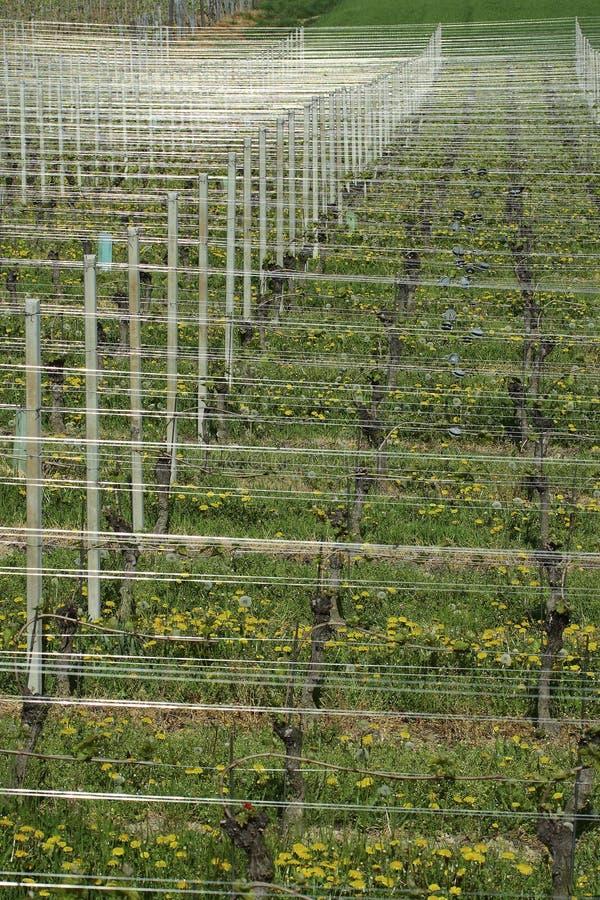 Vineyard landscape summer stock photo