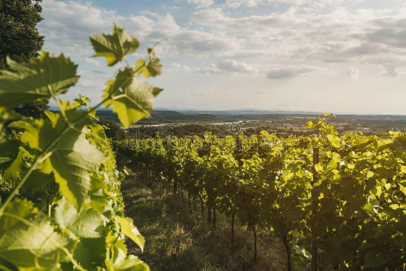 Vineyard landscape. Summer grapes harvest. Selective focus royalty free stock photography