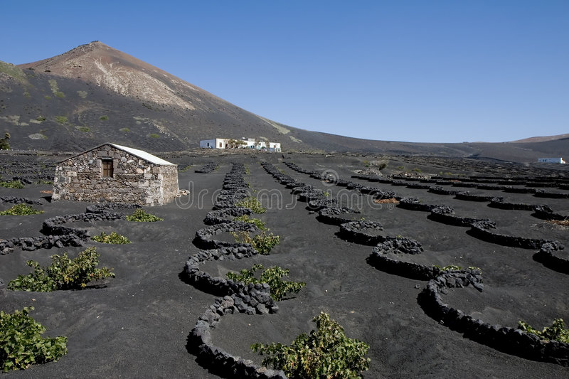 Vineyard in Lanzarote royalty free stock photo