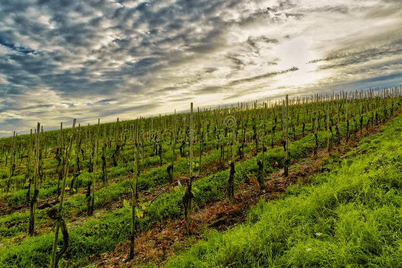 Vineyard in late autumn stock photography