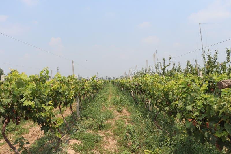 Vineyard in Lintong, China royalty free stock photos