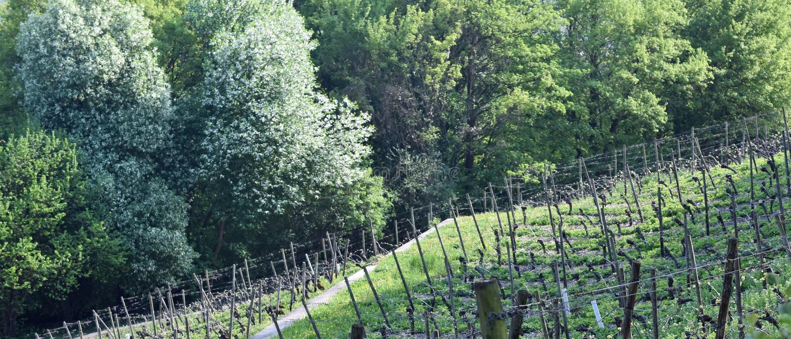 Vineyard Lohrberg, Frankfurt / Main, Germany. This photograph shows a vindeyard in the foregrund. In the background are some bushes and trees. The photography royalty free stock photos