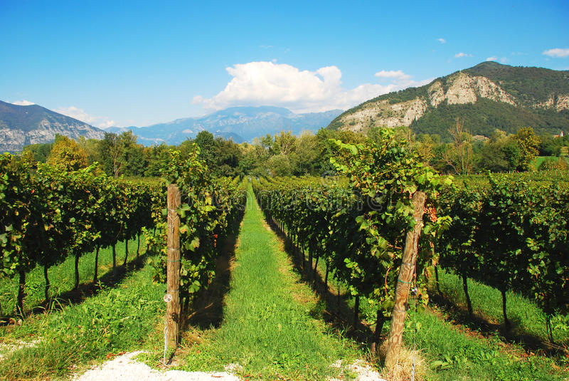 Vineyard in Lombardy, Italy. Vineyards in the Italian region of Lombardy. Wine production in Franciacorta by Brescia royalty free stock photo