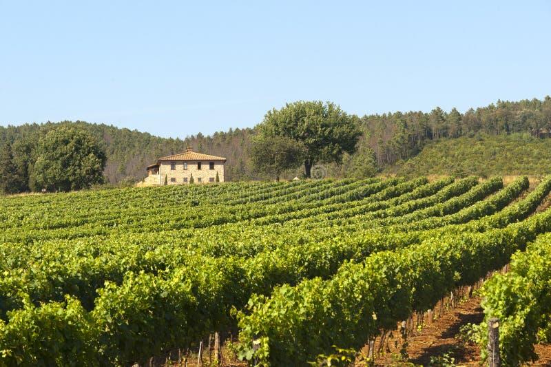 Vineyard in Maremma (Tuscany) stock photo