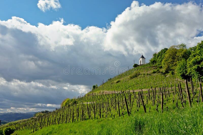 Vineyard in Maribor royalty free stock images