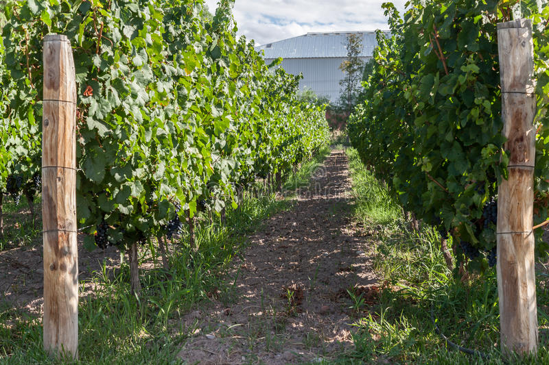 Download Vineyard In Mendoza Argentina Stock Photo - Image of planation, poles: 39503810