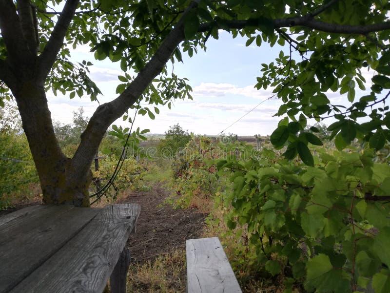 Vineyard, Moldova stock photo