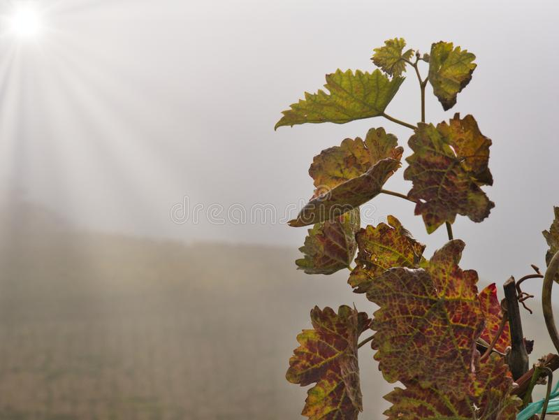 Vineyard in the morning royalty free stock photos