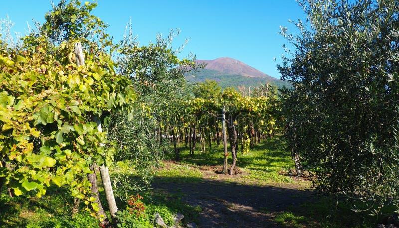 Vineyard and Mount Vesuvius. Biodynamic vineyard on the slope of Mount Vesuvius in Italy stock photos