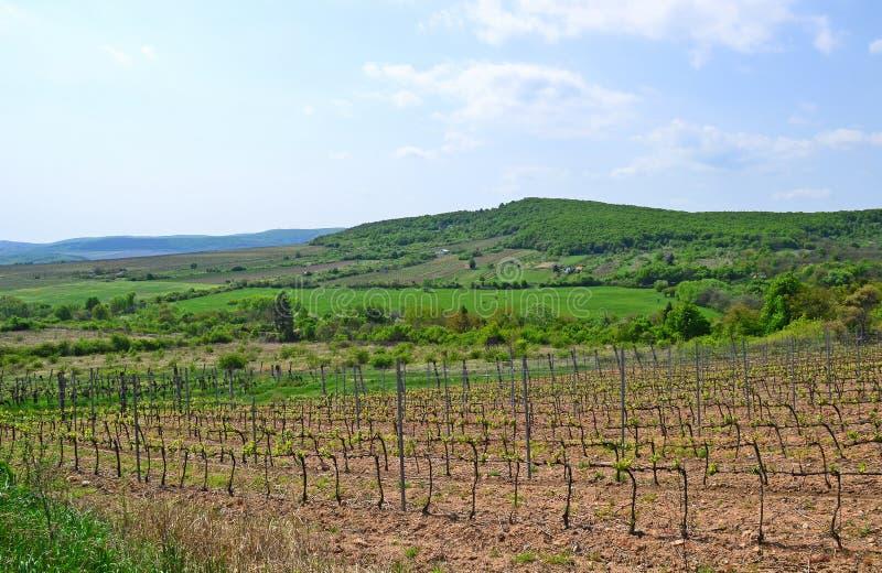 Vineyard in the mountain Zemplen, Hungary royalty free stock photos