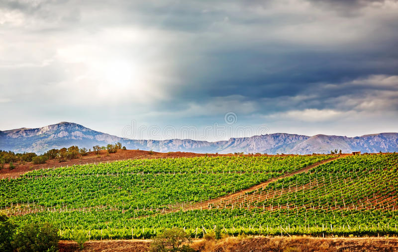 Vineyard in the mountains stock photo