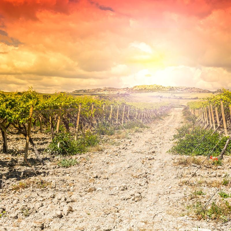 Vineyard in the mountains of Sicily royalty free stock images