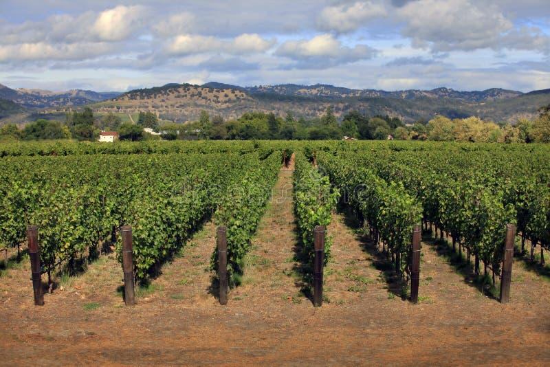 Vineyard in Napa, California stock photo