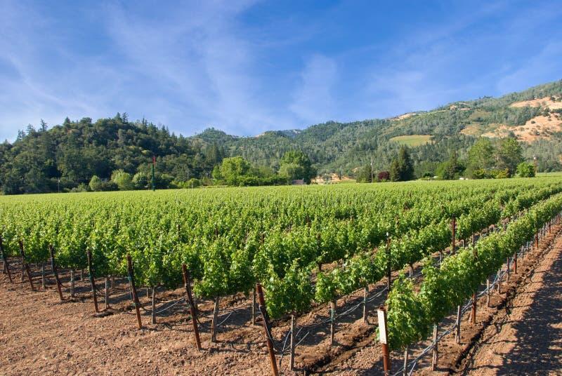 Vineyard in Napa, California royalty free stock photo