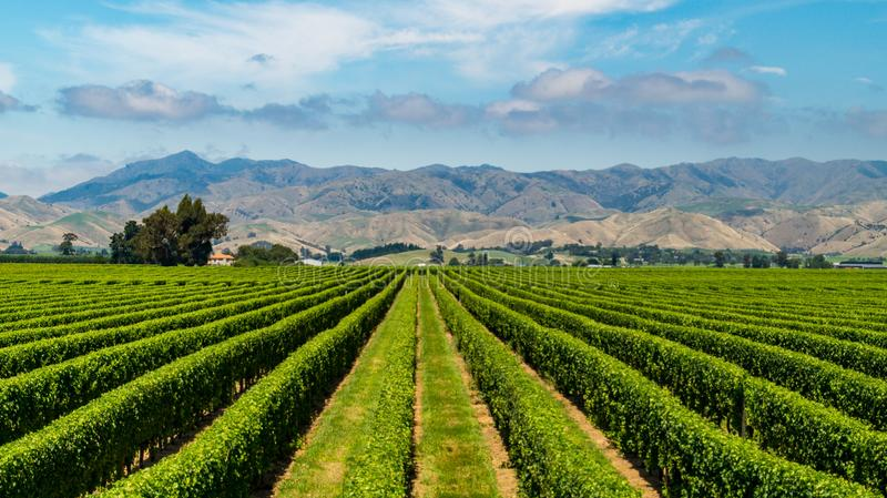 Vineyard near Blenheim with view over the mountains royalty free stock photography