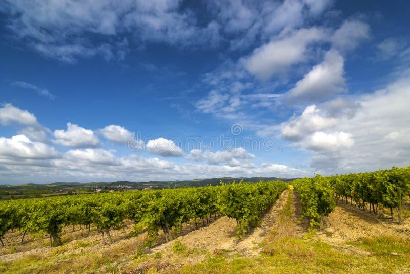 Vineyard near Carcassonne (France) stock photo