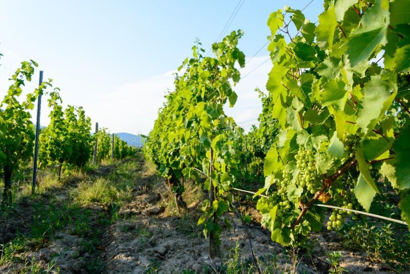 Vineyard near Hercegkut Sarospatak Tokaj region Hungary stock photo