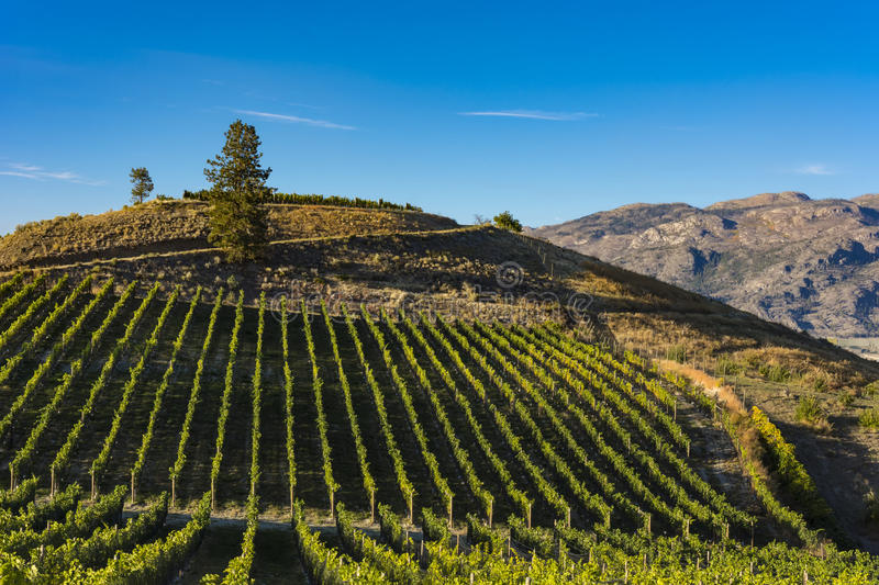 Vineyard near Okanagan Lake near Summerland British Columbia Canada. With hills and blue sky in the background royalty free stock images