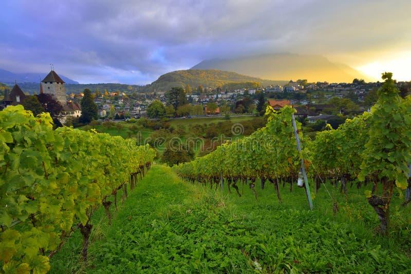 Vineyard near Spiez Castle and Niesen peak stock photography