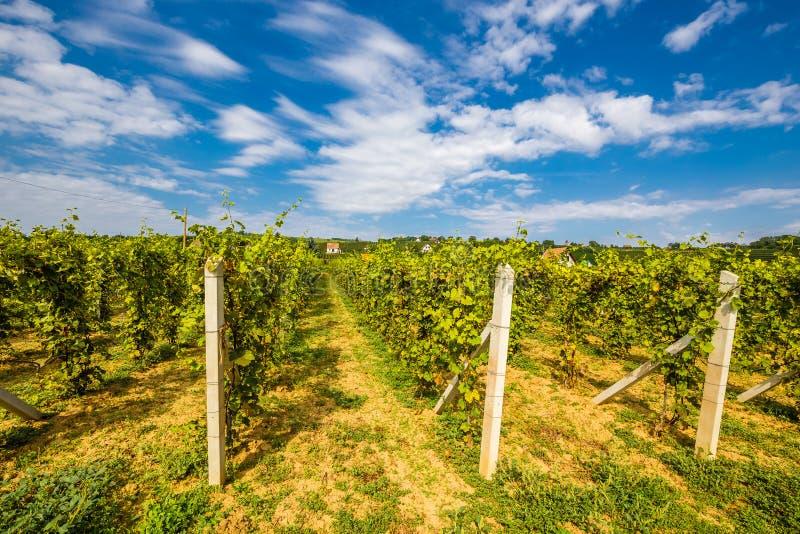 Vineyard Near Villany Village - Baranya, Hungary stock image