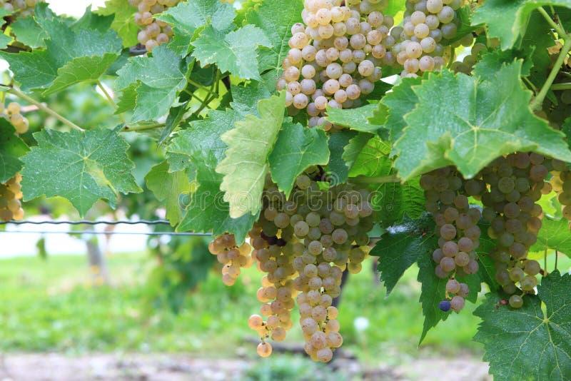 Download Vineyard In Niagara-on-the-lake, Ontario, Canada Stock Image - Image of vineyard, wine: 27246439