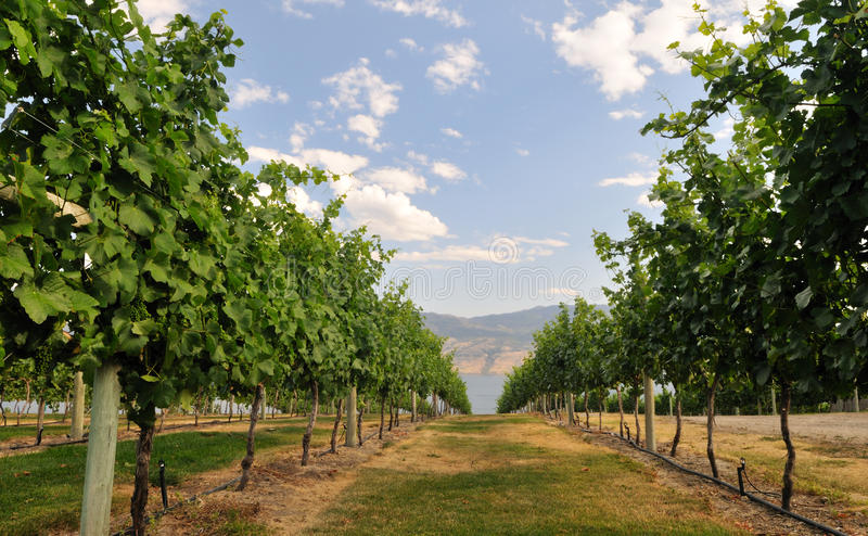 Vineyard By Okanagan Lake Royalty Free Stock Images