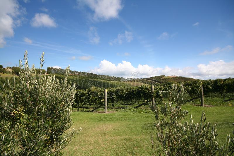Vineyard and Olive tree royalty free stock photo