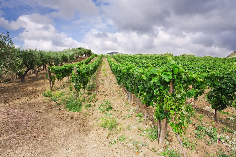 Download Vineyard and olive trees stock image. Image of country - 20987509