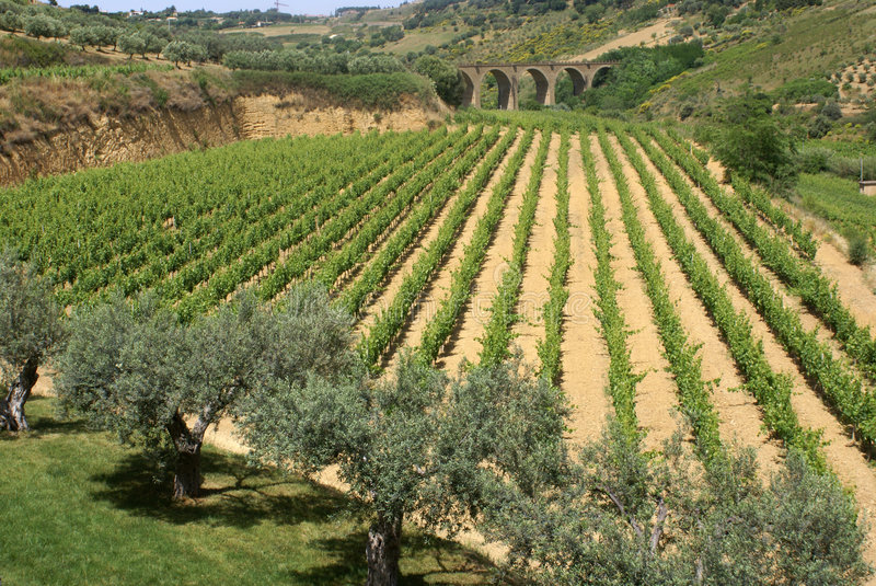 Vineyard and olive trees royalty free stock photo