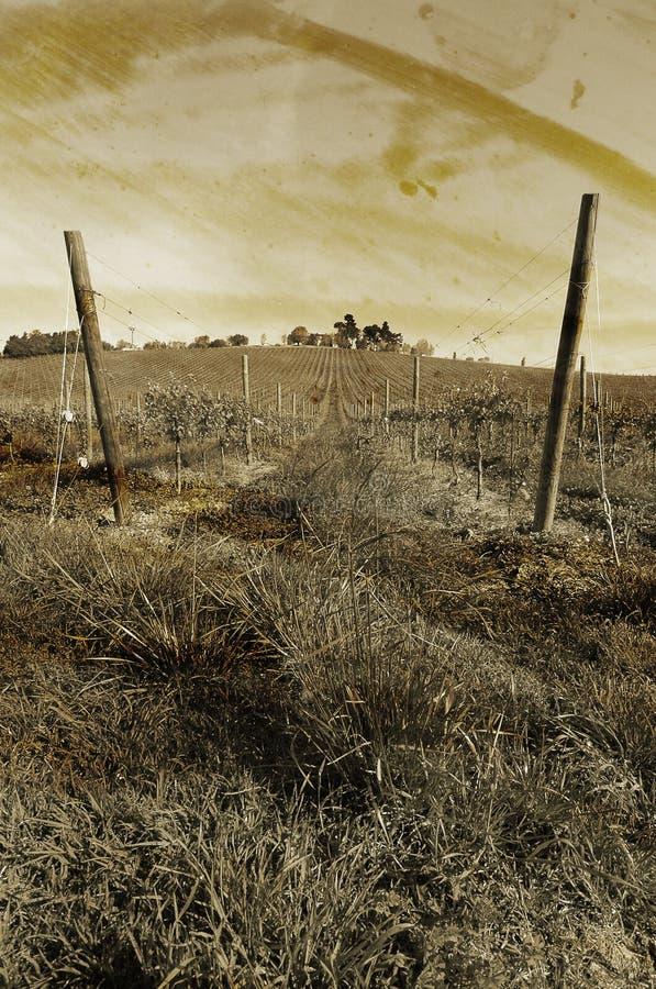 Vineyard plant stock photo
