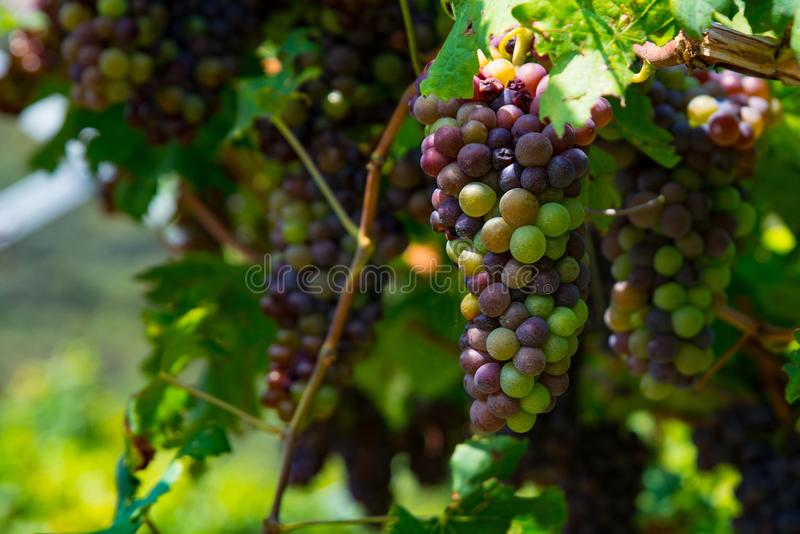 Dark Wine Grapes On Tree On Grapes Plantation In Italy