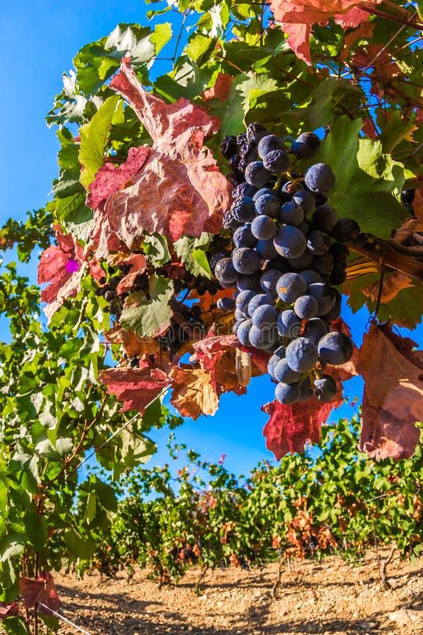 Vineyard. Plantation vineyard with ripe bunches of grapes, wineyard, europe, alcohol, industry, grapevine, leaf, tradition, travel, tourism, scenic, season royalty free stock photo