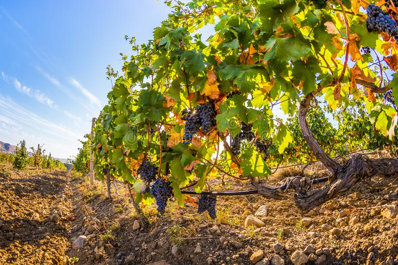 Vineyard. Plantation vineyard with ripe bunches of grapes, wineyard, europe, alcohol, industry, grapevine, leaf, tradition, travel, tourism, scenic, season stock photos